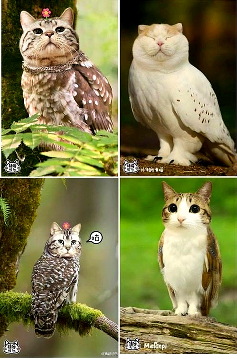 Are owls really eagles with cat heads? That's what the Chinese say